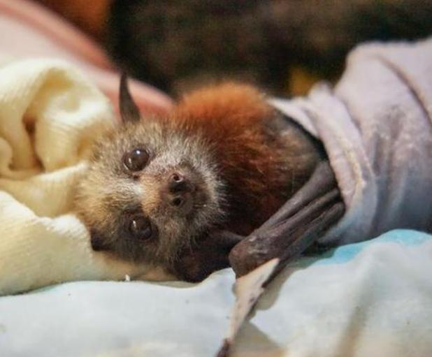 澳洲蝙蝠成灾 蝙蝠该背锅吗?