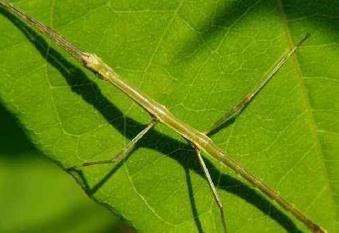 普洱现巨型竹节虫 具有超高的隐身术