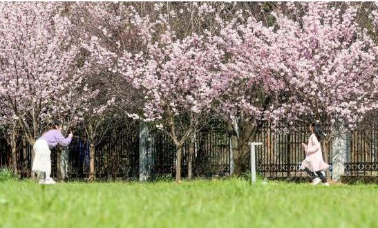 武汉大学春季特设抗疫医护赏樱专场 邀请援鄂医疗队抗疫医护人员来校赏樱