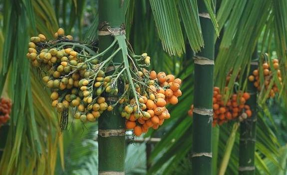 关于槟榔的功能和危害