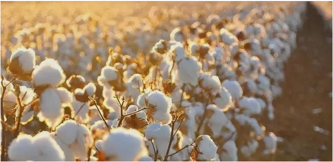 新疆棉花事件对近期棉花期货有什么影响?棉花期货最新实时行情