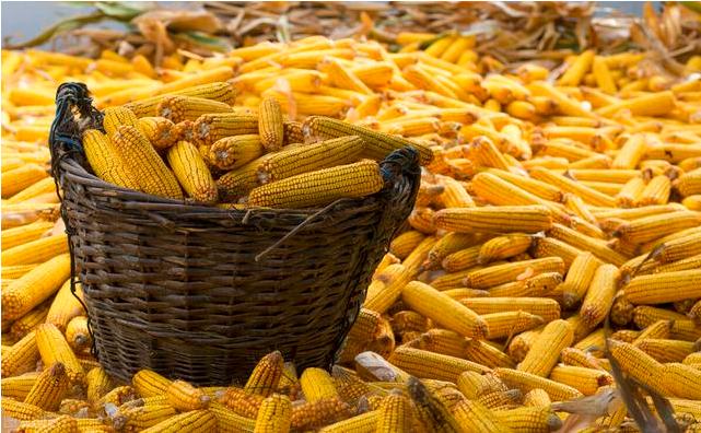 玉米价格创历史新高,持续暴涨是何原因?后期还会涨吗?