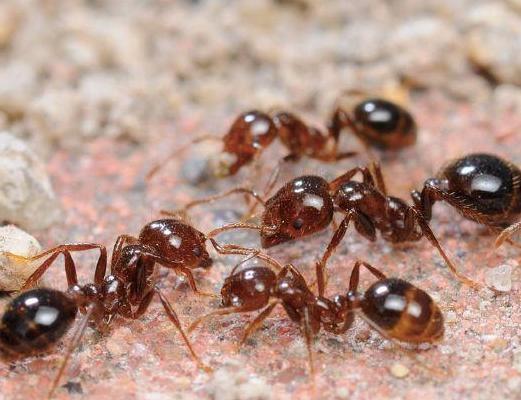 红火蚁列入最危险入侵物种 红火蚁的危害在哪里