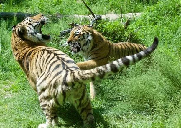 河南两只老虎为何被枪毙?官方公布枪毙老虎细节回应事件三大核心问题