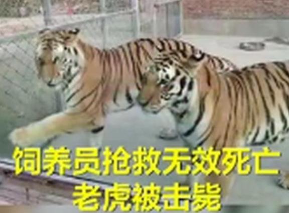 为何击毙两只老虎?河南公布细节 两只外逃老虎为什么会被击毙