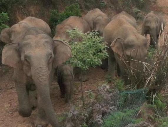 北迁野象群40余天路程达400公里 云南北迁野象群最新情况