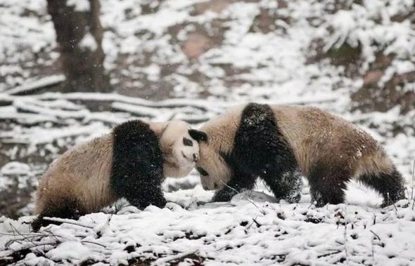 中国野生大熊猫由濒危降为易危 外交部谈野生大熊猫由濒危降为易危