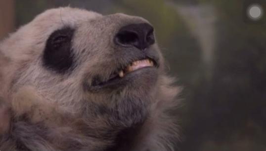 国宝熊猫或在美国遭受虐待 脏乱消瘦如同标本美方却称自然老去
