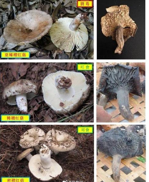广东梅州一家祖孙三口因误食毒蘑菇中毒,2人死亡一人目前正在抢救中……