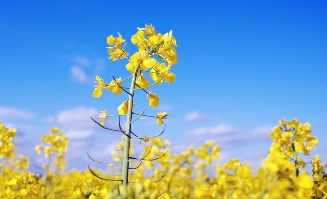 油菜花营养价值高吗?食用油菜花有哪些注意事项?