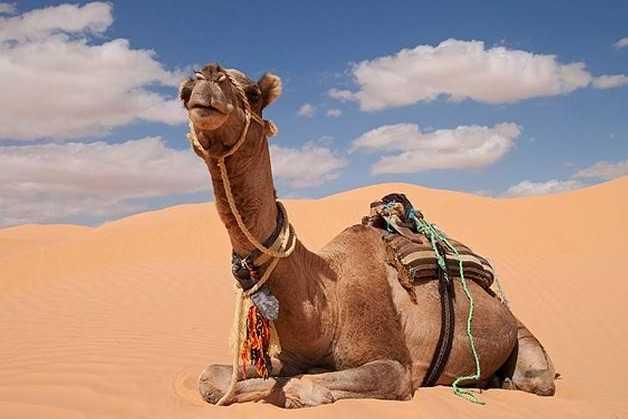 澳大利亚射杀骆驼 只因为他们喝了太多的水?!